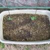 【家庭菜園】「番外編」万能小ねぎが発芽しました