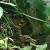我が家の庭でキジの母鳥が抱卵中