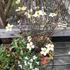 ウインタ―コスモスの寄せ植えをちょこっとカットしてもう少しの間楽しませてもらいます♡