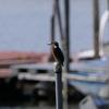 手賀沼公園ボート乗り場付近のカワセミ