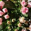 伊豆大島のブバルディアいっぱいの幸せ