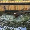 ベランダのアカハライモリの水槽サイズアップ