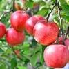 【りんごのワイン】りんご酒「シードル」の紹介です!
