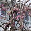 ある桜の話