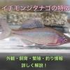 イチモンジタナゴの特徴 外観・飼育・繁殖・釣り情報を詳しく解説!