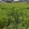 ひとつ目の不耕起田んぼで稲が倒れていました。倒れない野生苗を残さねば♪(田植え後14週目、出穂4週目)