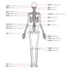 ~人物~ 人体の構造 基本的な骨格 背面