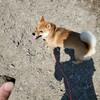 新しい技(笑)!歩かない柴犬散歩に困ったら