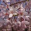 しだれ桜(一重)