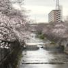 成瀬駅~恩田川桜散歩・大岡川桜散歩