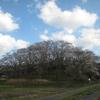桜のドームが出現! 中能登町の鍋山古墳がすごいことに・・