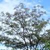 センダンの花咲く