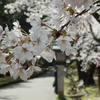 弥彦山頂・御神廟参拝。そして弥彦公園の桜2020
