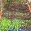 【家庭菜園】ほうれん草、小松菜、ミズナ、水菜(赤)の今。