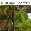 ツルウメモドキとウメバチソウ 同じニシキギ科ですが----,全く似ていません!かなり最近まで,ウメバチソウはユキノシタ目ユキノシタ科に分類されていました.両者の花は似ているとは思えません.形だけ比べてみると,じつは似ているのですが,ツルウメモドキの花は地味.しかし実が美しく愛でられている植物.生け花の花材としても良く用いられるそうです. 繁殖力旺盛で,アメリカでは外来種として問題に.「梅/梅花の名前が付けられた植物」7