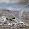 2019年7月27日の鳥撮り(2/3)-千葉県の海浜(2/2)