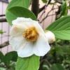 夏至・庭の茶花