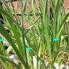 にんにくの芽でてきた、トマト18日目で発芽、いちご、マツバウンラン、オオマツバウンラン開花、3月の気温