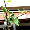 部屋の水栽培がシュガーバインからアイビーに交代になった