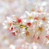 みんな桜撮ってるので追随してみた(撃沈)。