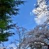 新倉山浅間公園 桜