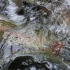 湧き水育ち虹鱒の荒汁も美味しいですよ!