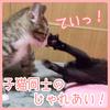 じゃれあう子猫たち!【生後3カ月】動画あり!