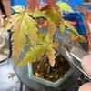 色づいた葉を落としてます