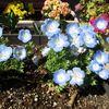 タイトルバックの花は何がいいか!プランターのモネフィラにしよう。