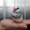 【今日の】桜文鳥まめの寒さ対策。【買い物】