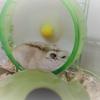 回し車のうえで寝ているジャンガリアンハムスターのバナナちゃん。豆知識:実はすごい短い⁉ハムスターの平均寿命とは?