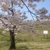 多摩湖の桜が満開になりましたよー