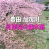 2021年 3月 河津桜 お花見 豊田市 加茂川公園 【東海ドライブ】