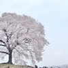 山梨、丘の上の一本桜、「わに塚の桜」へ