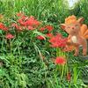 彼岸花と遊ぶロコンの秋【ポケモンGOAR写真】多摩川河川敷にて