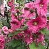 タチアオイが咲いています