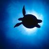 ダイバーに人気の魚の種類-カクレクマノミ、バラクーダ、マンタ、アオウミガメ、ジンベエザメ-【フィリピン留学】
