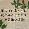 葉っぱの真ん中に花が咲くルスカス~不思議な植物~