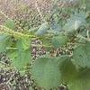 ヤブマオは微妙な草の味・香り
