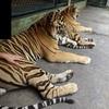 【プーケット】タイガーキングダムで大きな猫を撫でてみる