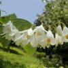 雲の如く咲く花