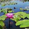 日帰りですごく楽しめる!ナコンパトム@蓮の池トゥンブアデーン市場