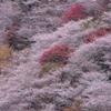 【川見四季桜の里】 紅葉と桜が同時に鑑賞できる 愛知県豊田市小原地区のオススメスポットです。