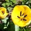 チューリップの花にも、強風が吹き荒れて…。