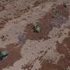 つるむらさきと空芯菜の定植&生姜の発芽