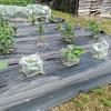 梅雨に入り、野菜の生長は速くなる?