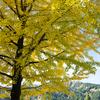 黄色に色づく千石神社