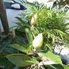 我家の泰山木