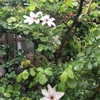 クレマチス開花しました
