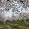 佐保川の桜(3月下旬~4月上旬)
